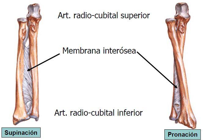 FisioActividad: Pronación supinación