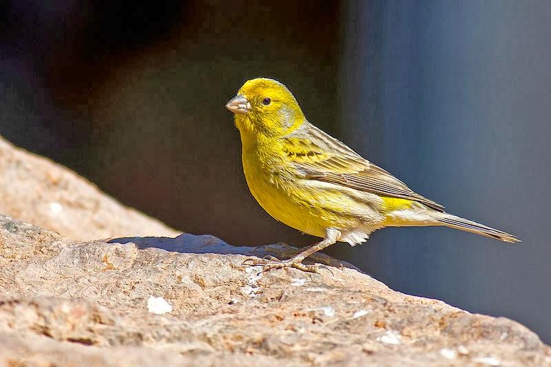 Foto Burung Kenari Cara Merawat Kenari Suara Nyaring Ngriwik