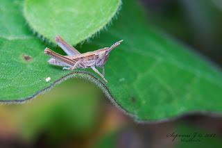 Rétisáska (Gomphocerinae subfamilia)