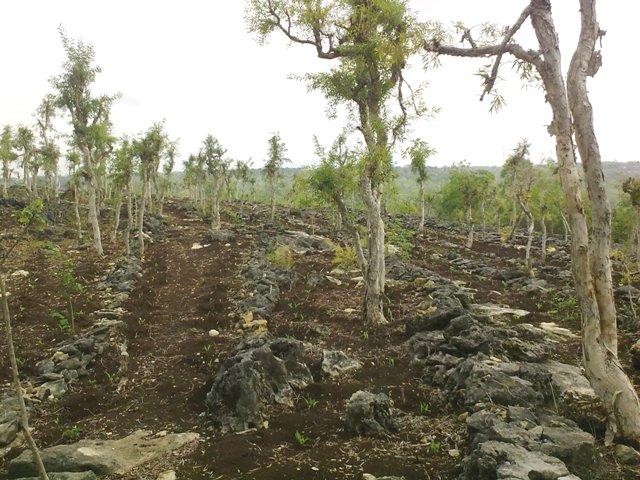 Contoh foto hutan pinus di alam pegunungan Dlingo terbaru