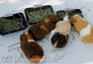 guinea pig grass hay review
