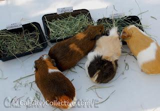 guinea pig grass hay review