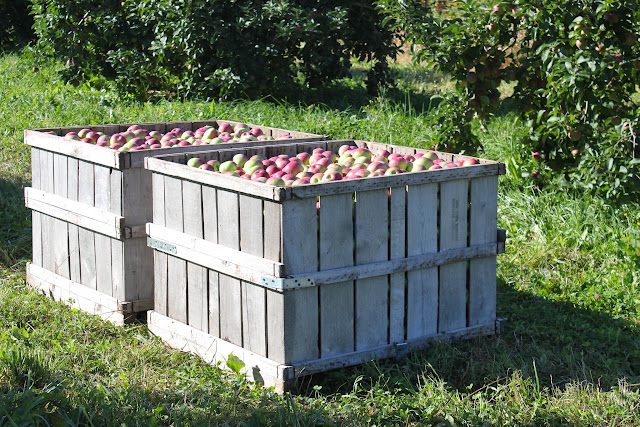 Apples at Westward Orchards