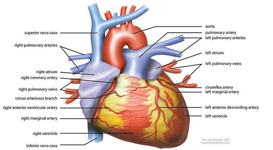 Researchers Grow A New Heart Using Stem Cell Technology Stem Cells