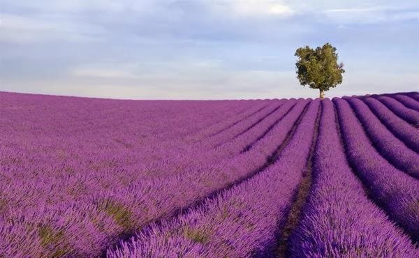 Lavender+Fields2.jpg