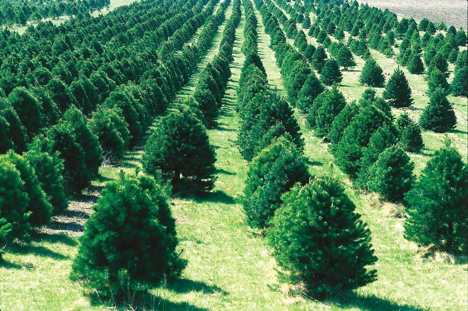 Arboles de navidad naturales para plantar