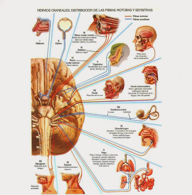 Ciencias Naturales 6to. Grado: Coordinación y defensa del cuerpo humano