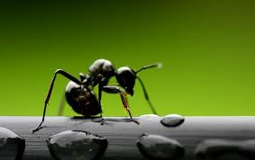 Semut Otak Paling Besar - Info Minda
