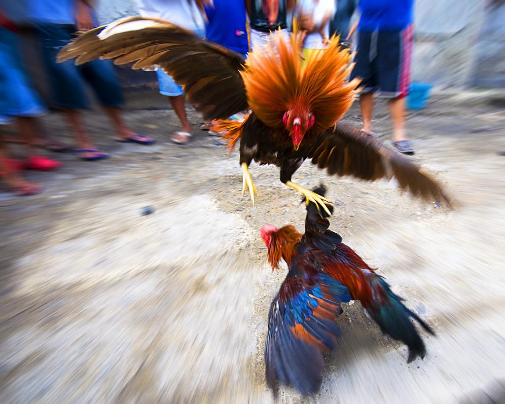 Cock fighting in kentucky