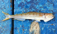 Bluntnose Lizardfish, Painted   Grinner, Snakefish