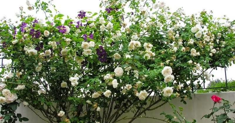 Arte y jardiner a dise o de jardines rosales trepadores de t for Diseno de jardines 3d 7 0 keygen