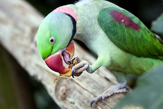 Periquito ou papagaio Alexandrino