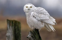 Arctic Animals - Snowy Owl