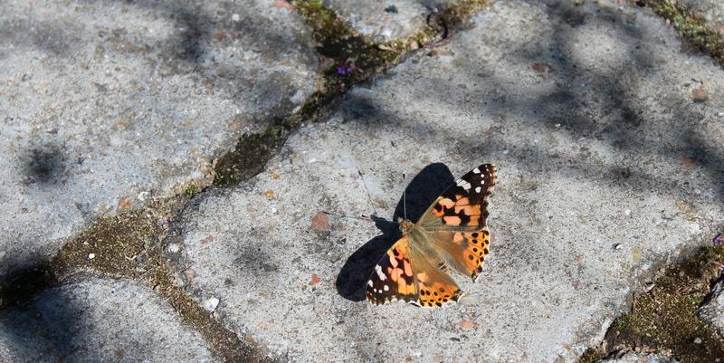 tidselsommerfugl