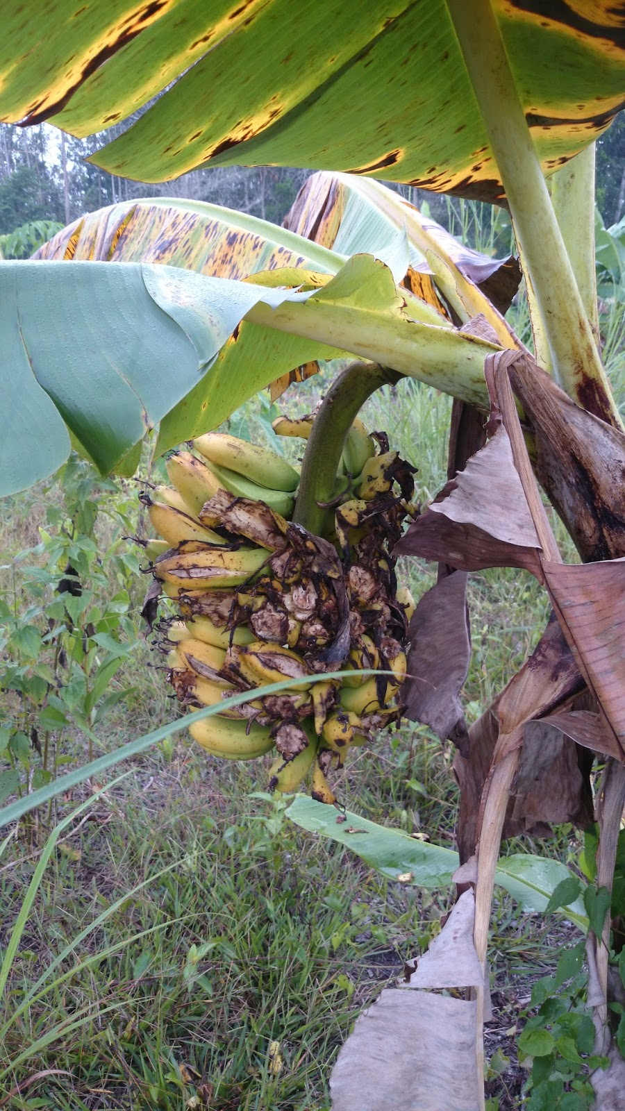 Tuaian Sayuran Dan Buah Pertengahan Tahun Di Kg Kebun Getah Bawang Dayak Segar Setengah Kilo Pokok Pisang Atas Sudah Mula Masak Dituai Lebih Dulu Oleh Binatang Liar Mungkin Burung Yang Tinggal Berhampiran