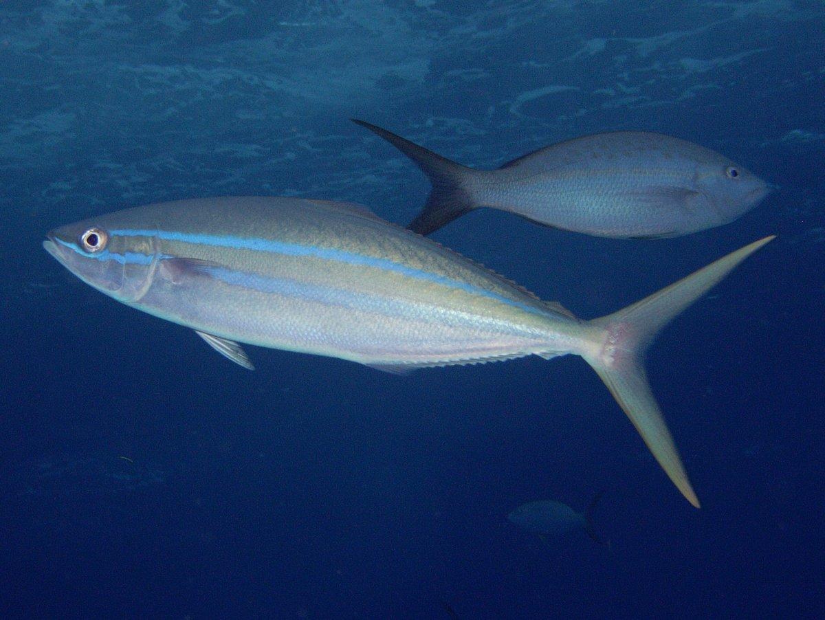 Fish identification rainbow runner rainbow yellowtail for Fish in spanish