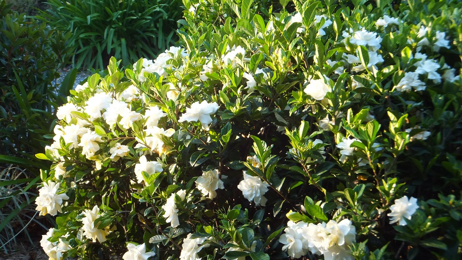 Coffs harbour garden club plants for recycled water systems for White flowering bush