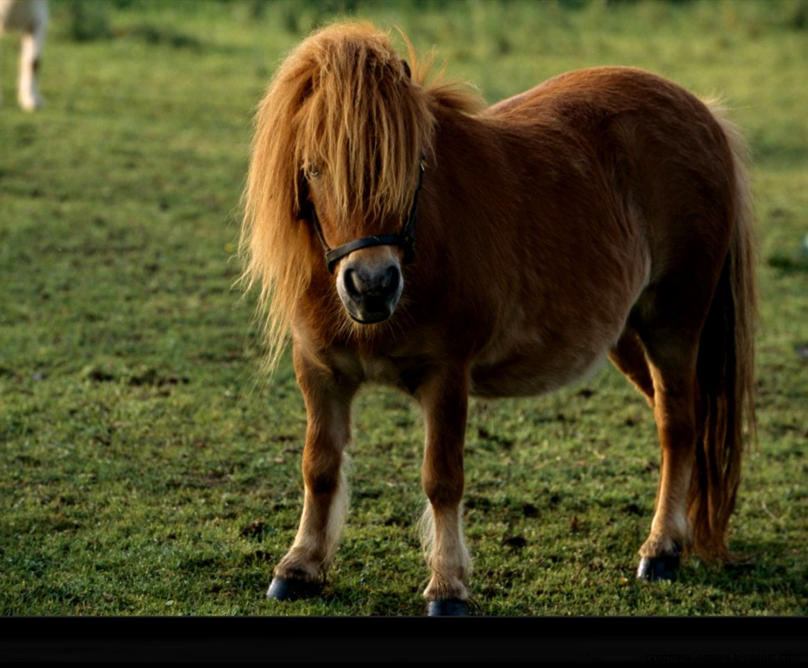 Miniature Horse Wallpapers   New WallpapersNew Wallpapers