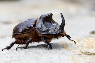 Para ampliar Oryctes nasicornis gyrpus (Escarabajo rinoceronte) hacer clic