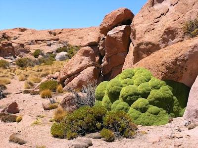 tanaman usia ribuan tahun-3