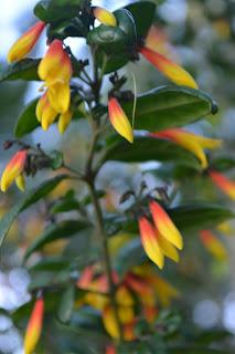 Justicia floribunda. Bandera española. Fosforito. Arbusto perenne y colorido. Cultivo en mediasombra.