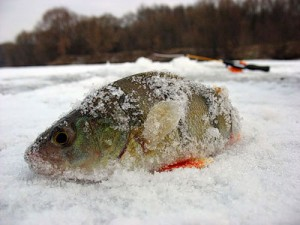Рыбалка окуня зимой
