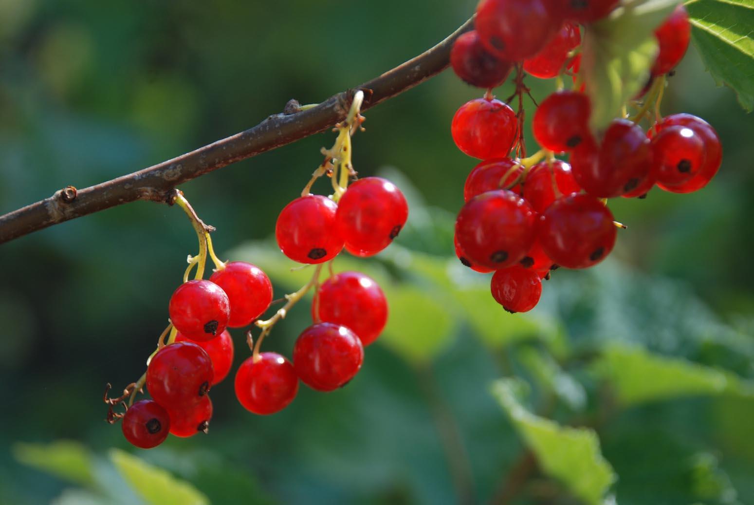 Applegarth Farm: berries in the garden