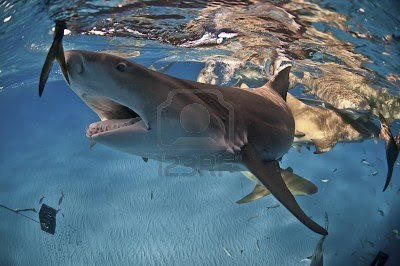 Lemon shark pics