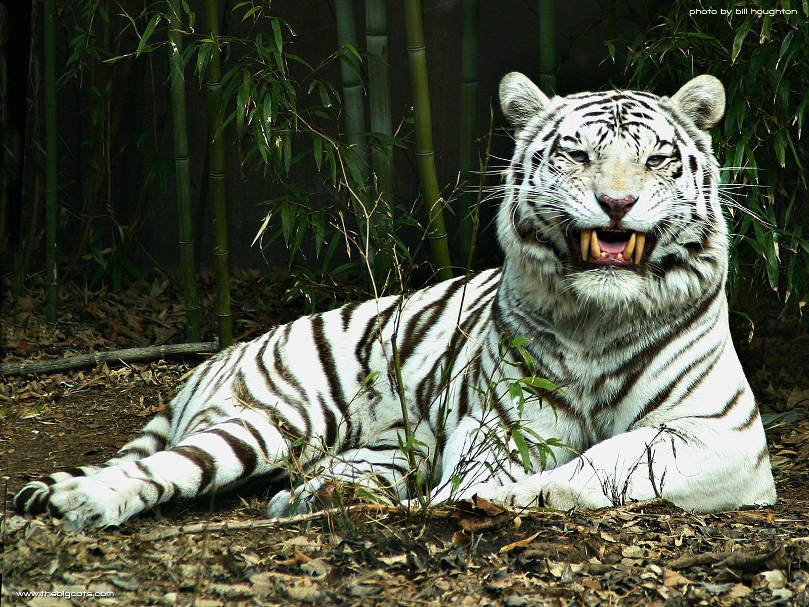http://3.bp.blogspot.com/-GeKxIoW_lYA/Tv7yflnIZII/AAAAAAAAAdg/ygMkrtcxXKs/s1600/white-tigar-pc-wallpaper-ouradda.jpg