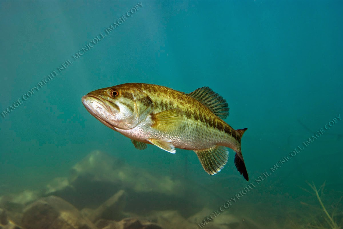 Largemouth bass underwater photography largemouth bass 3 for Pictures of bass fish