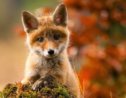 Oh by the way autumn kit fox - Immagini di volpe spugna a colori ...