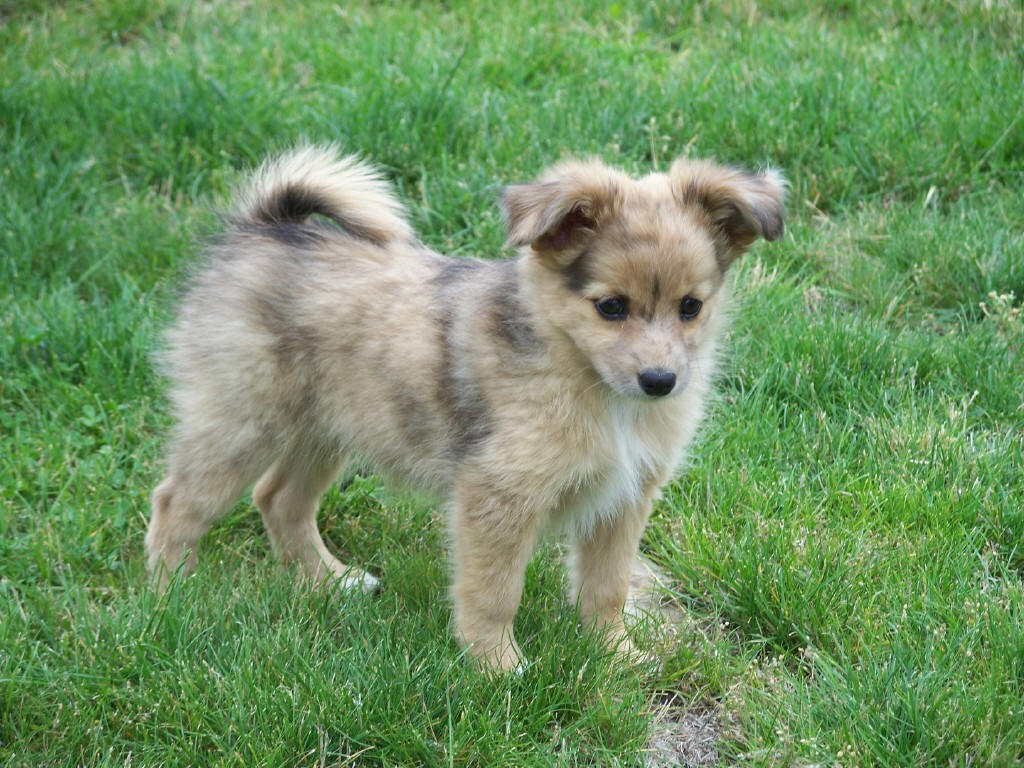Cute Australian Shepherd (Aussie) Puppies Photos ~ Cute Puppies