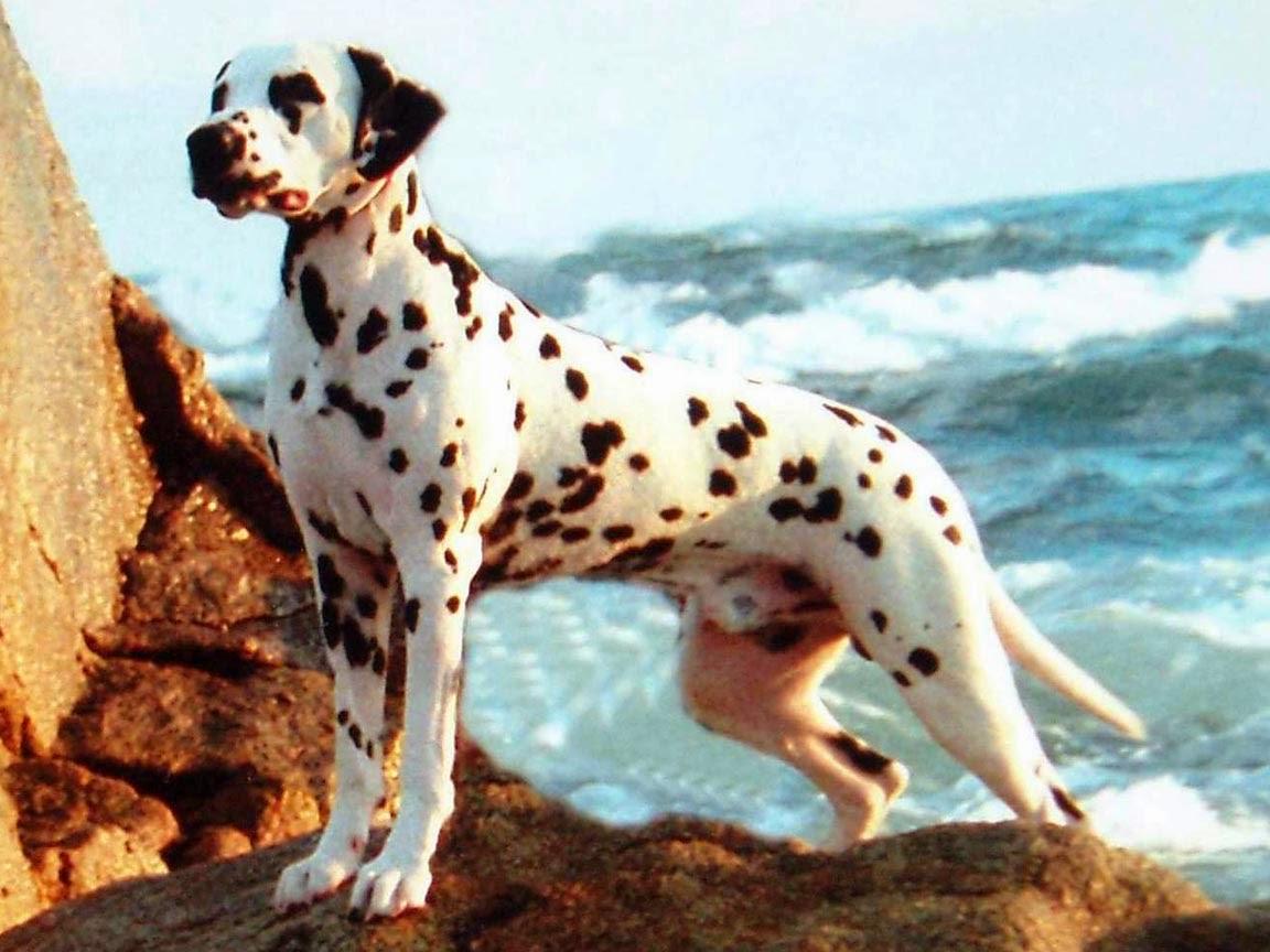 Dalmatian Dog Wallpapers