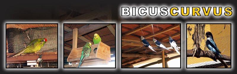 Bicuscurvus