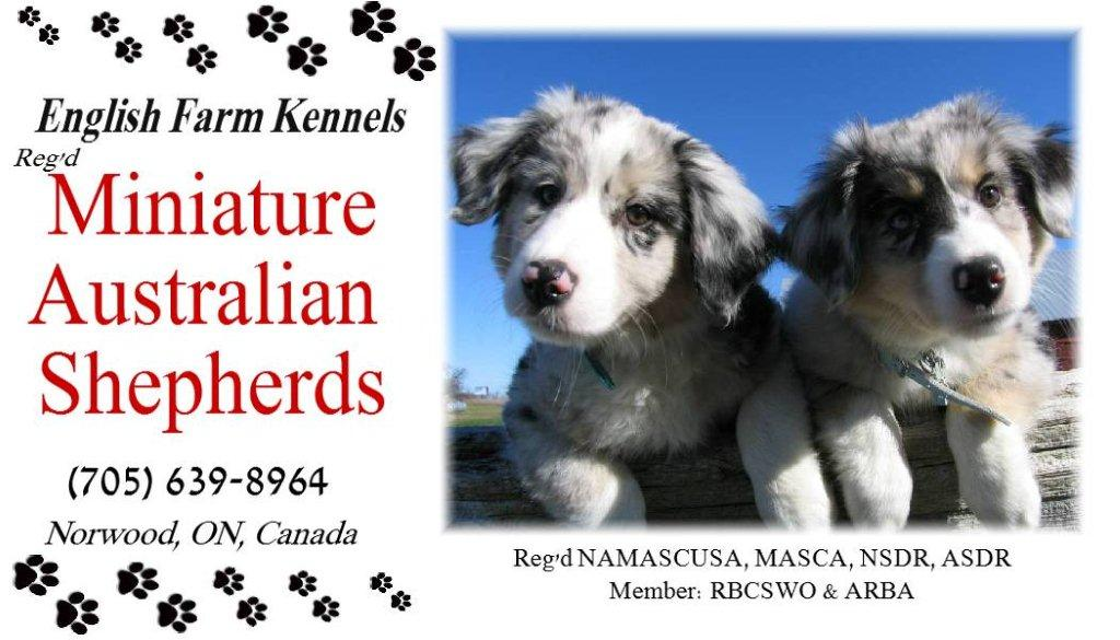 Puppies at EFK Miniature Australian Shepherds