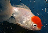 Oranda Goldfish in White Coloration