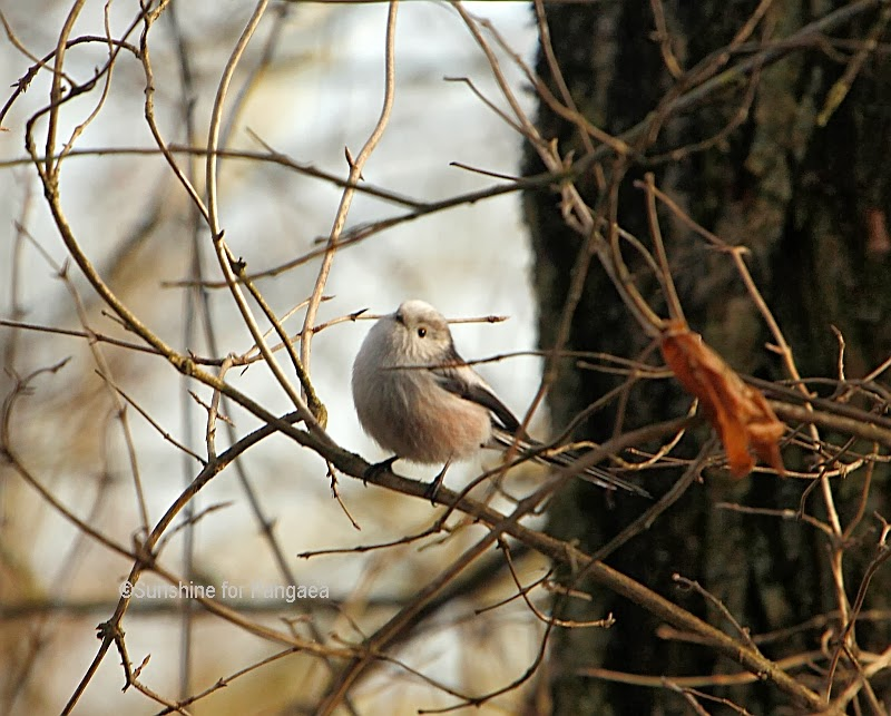 Long-tailed Tit in Germany