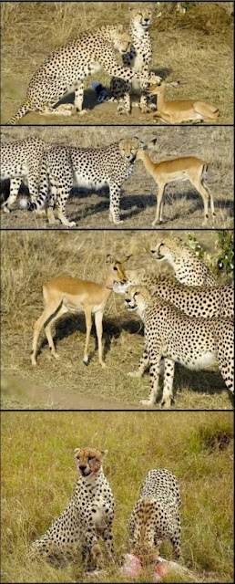 cheetahs eating
