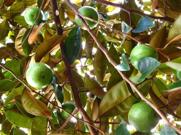 Nama lokal dari kenitu ada aneka macam menyerupai sawo durian BUAH KENITU YANG KAYA ANTIOKSIDAN