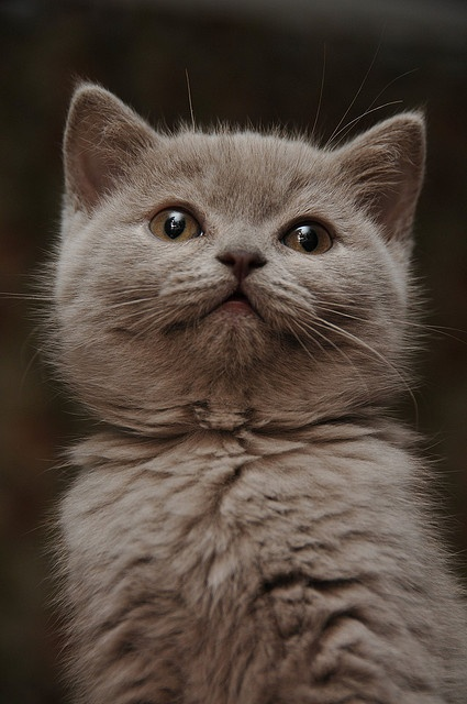 How to groom a British Shorthair Cat?