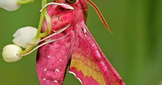 Curiosidades del mundo la polilla rosa deilephila - Vivero la rosa del norte ...