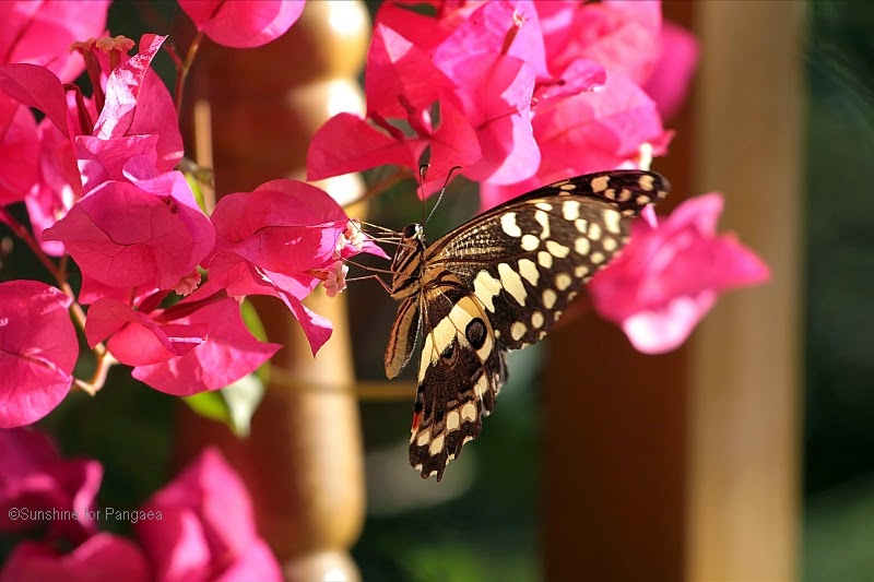 citrus swallowtail (Papilio demodocus) or Christmas butterfly