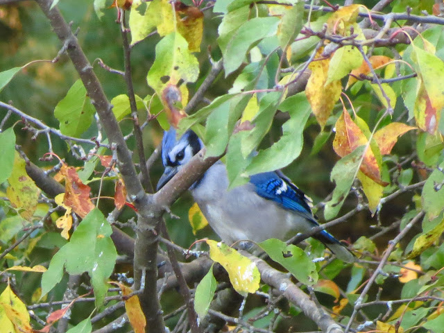 blue jay amongst the leaves