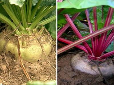 Ao contrario da beterraba alimentar que é vermelha-escura, a beterraba açucareira é branca amarela ou parda