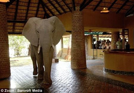 Foto Gajah Yang Masuk Di Lobi Hotel