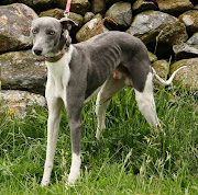. were very distressed to find a Whippet tied to the fence on the track.