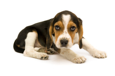 Beagle Dog Breed Pictures