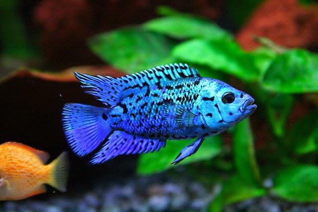 Electric Blue Acara Cichlid Joes aquaworld for exotic fishes mumbai ...
