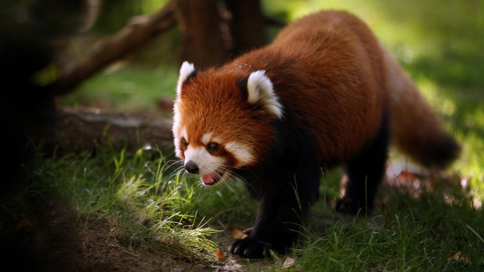 Brilliant Red Panda