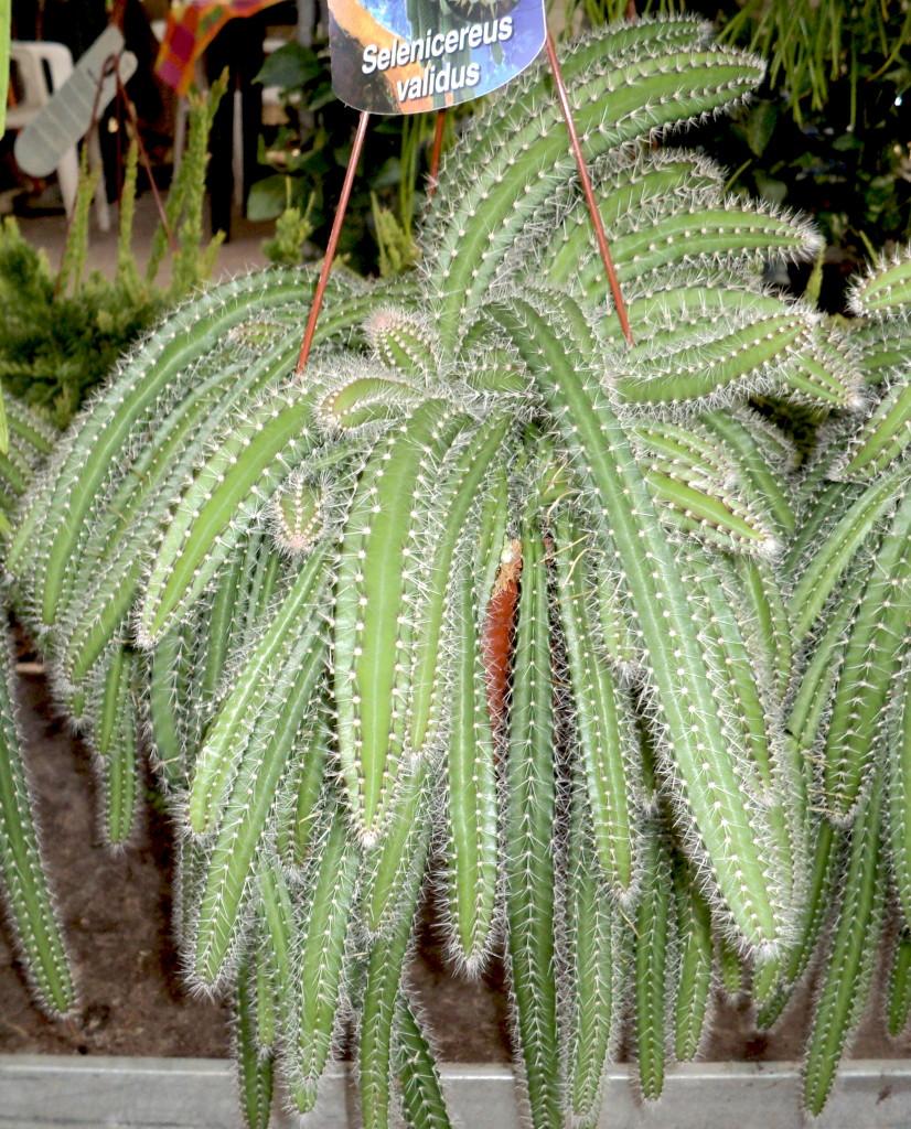 Viveros vangarden cactus y epifitos disponibles for Nombres de cactus